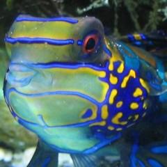 Synchiropus splendidus, foto 2004-2005