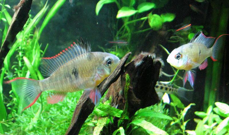Altispinosa avevo mai pubblicato questa foto for Pesci acqua dolce resistenti