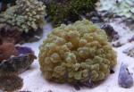 Plerogyra, bubble coral