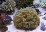 Plerogyra, LPS coral