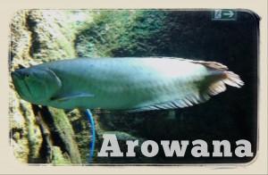 arowana, pesce tropicale lungo e stretto... quasi un serpente