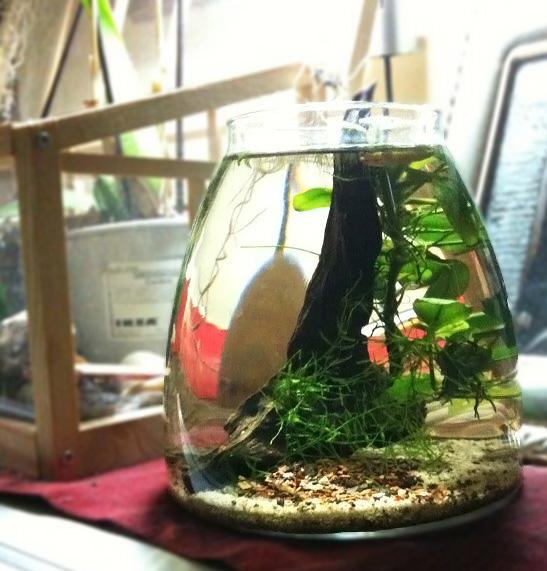 Caridine red cherry in un vaso ikea acquariando for Acquario per tartarughe piccole