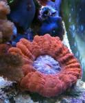 cinarina lacrimalis, LPS coral