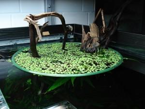 contenimento di piante galleggianti (mi sembra Lemna e forse Riccia fluitans)