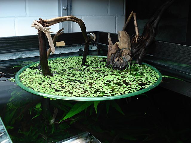 Piante galleggianti in acquario: facili, carine e utili!