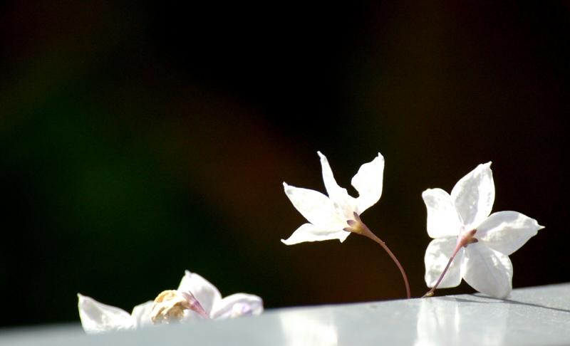 Fiori di Solanum sul corrimano che porta nel mio giardinetto