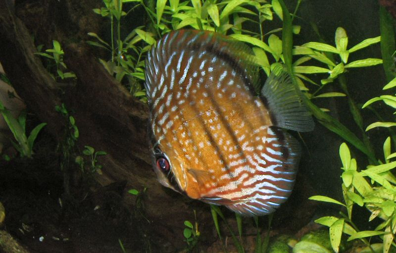 Discus, ciclide americano