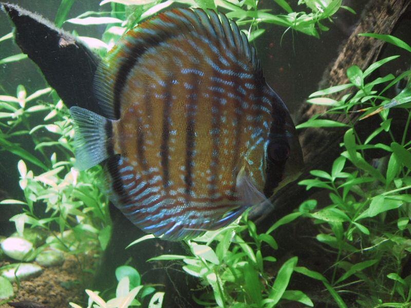 Acquario con Discus in salotto - Gennaio 2008 - Foto di Pesce Tropicale