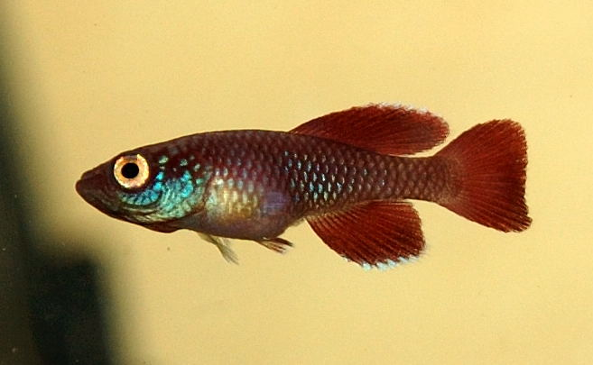 Nothobranchius killifish (korthausae red)