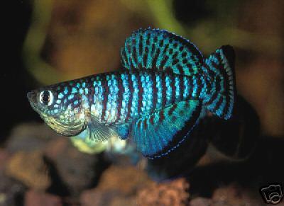 Nothobranchius Fuscotaeniatus, Killi con colore blu elettrico...quasi verde
