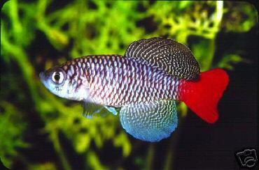 Nothobranchius Patrizii, Killifish dalla particolare netta colorazione della coda, tutta rossa