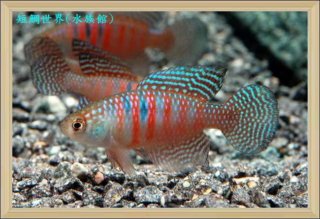 Simpsonichthys magnificus in parata, colori stupendi, puntini e righe insieme, mitico!