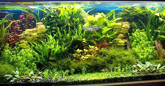 Tipico acquario Olandese (detto anche Tedesco, alle volte), con tante piante e in ottima salute