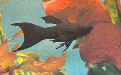 Black molly - Mollyblack