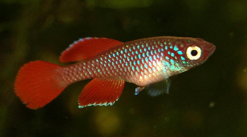 Fotografia di uno dei miei maschi di Nothobranchius korthausae