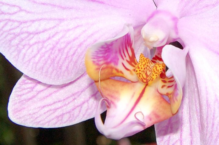 Phalenopsis, la più conosciuta e diffusa delle orchidee
