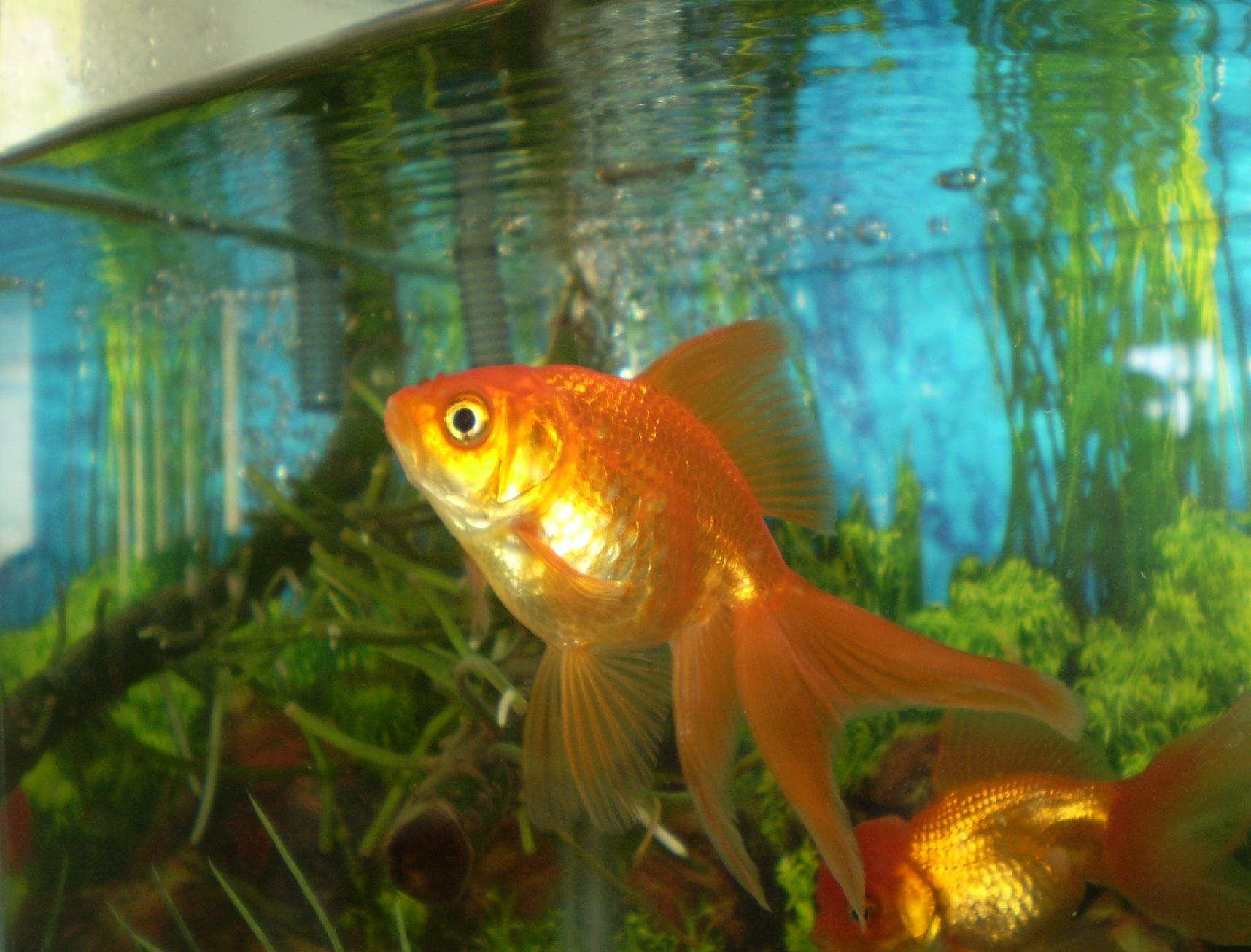 Rispondiamo a claudio per il filtro dei pesci rossi for Acquario per pesci rossi usato