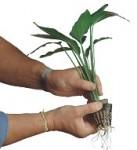 Estrarre la pianta dal vasetto di plastica