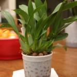 semi hydroponic culture, anche per altre specie oltre le classiche Phalenopsis