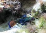 pesce mandarino - Synchiropus splendidus