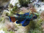 mandarin fish in marine aquarium