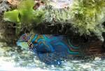 synchiropus splendidus - pesce tropicale colorato