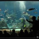 Sub in immersione per alimentare squali e pescioni nell'acquario di Barcellona