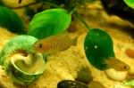 Neolamprologus multifasciatus: video dei nuovi arrivati