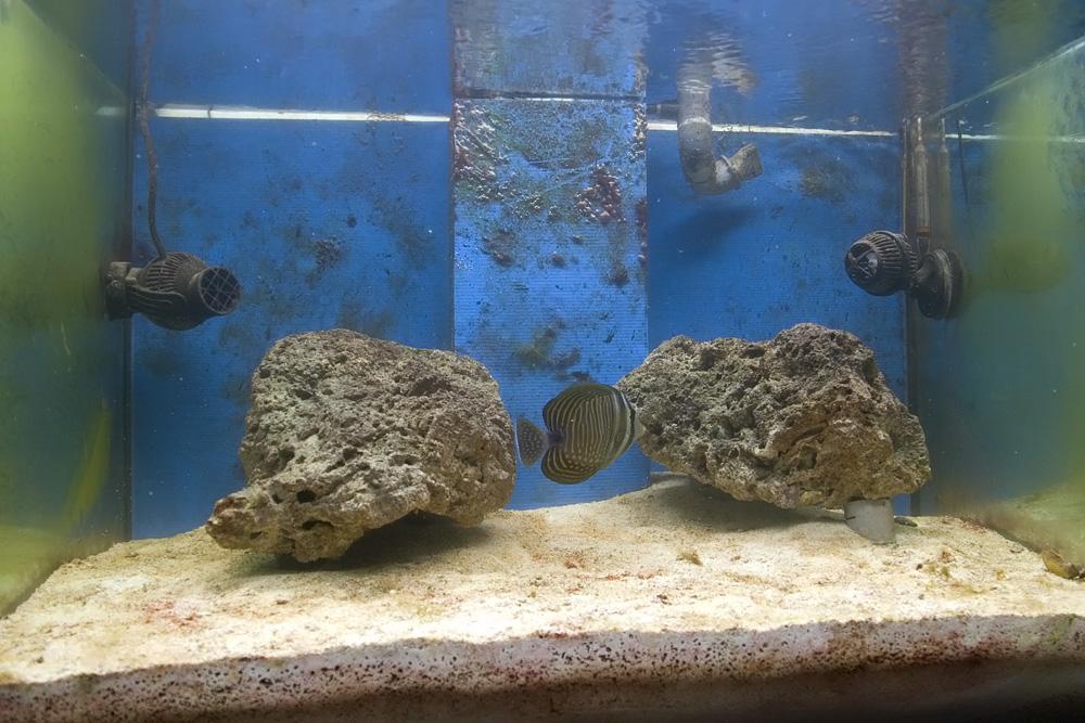 Benvenuto allo zebrasoma desjardini il primo pesce dell for Acquario 300 litri prezzo