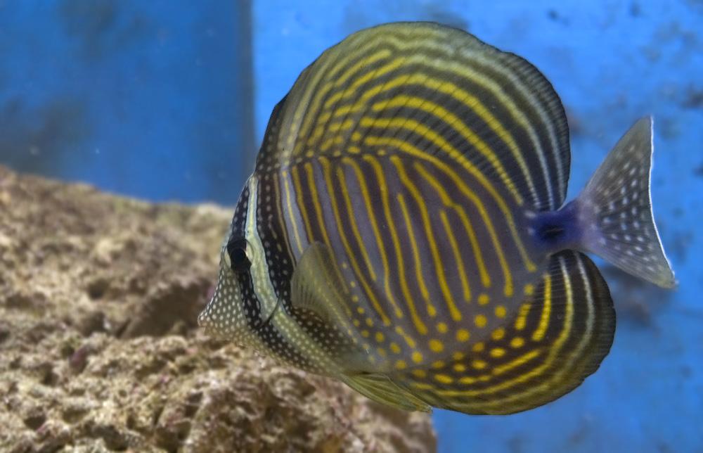 Benvenuto allo zebrasoma desjardini il primo pesce dell for Acquario marino 300 litri prezzo