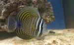 Benvenuto allo Zebrasoma Desjardini, il primo pesce dell'acquario marino!