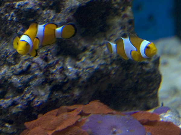 I pesci Pagliaccio (NEMO) possono vivere in piccoli acquari?