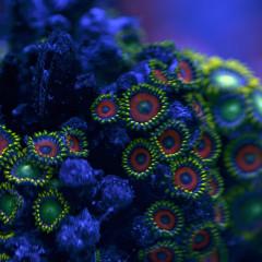 Zoanthus, i meravigliosi piccoli coralli molli (Zoa)