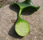 Eichhornia Crassipes: particolare della sezione spugnosa