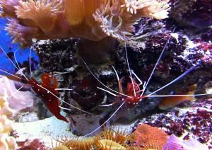 Anthias, pesce marino