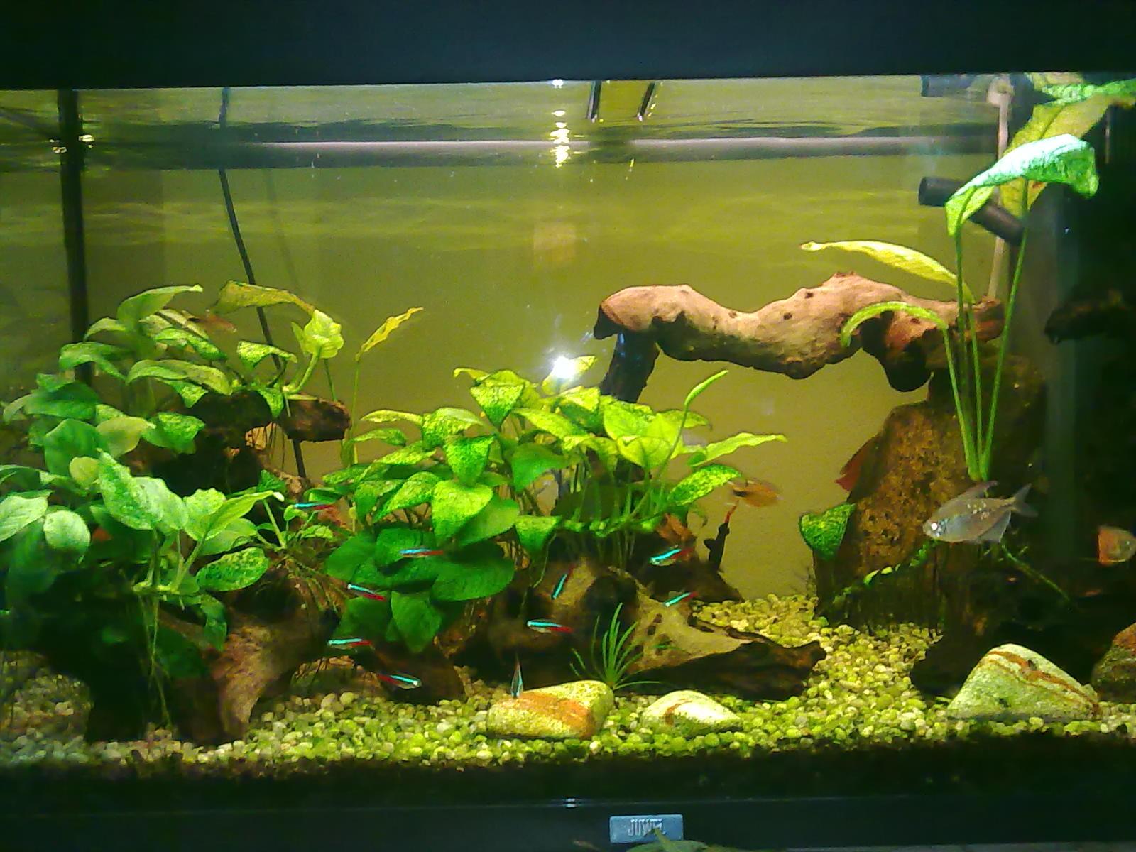 L acquario di ivano con anubias e pesci tropicali tanti for Acqua acquario