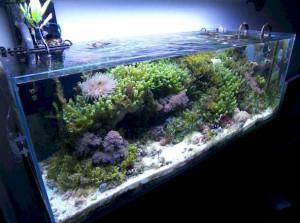 aquascape acquario marino con alghe