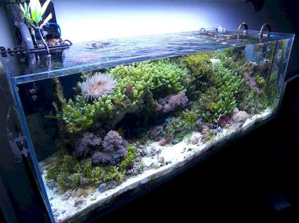 Piante Per Acquario Marino : Il secondo acquario marino litri poco budget e tante