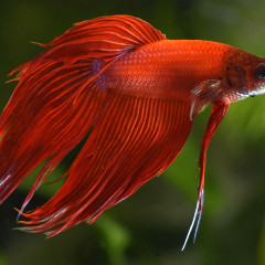 Betta splendens rosso, nuove foto dal piccolo acquario dolce
