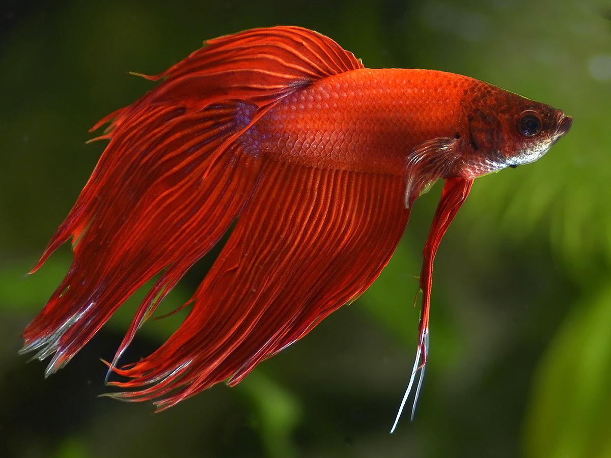 Betta splendens rosso nuove foto dal piccolo acquario dolce for Pesci per acquario piccolo