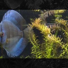 Salutiamo i 2 Discus…pronti per un nuovo acquario!