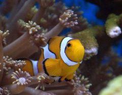 Ancora uno dei 2 pagliacci (pesce marino)