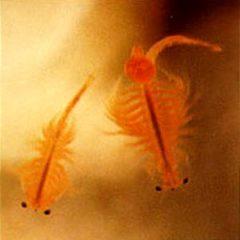 Artemia Salina (Brine Shrimp), cibo vivo per pesci e avannotti.