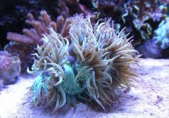 Small new entry: Catalaphyllia a tentacoli lunghi