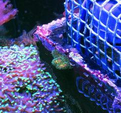 Pocillopora damicornis: la riproduzione spontanea nel mio acquario