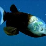 Pesce dalla testa trasparente (Barrel eye fish)