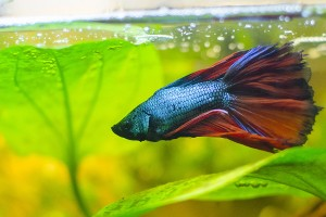 Betta splendens maschio