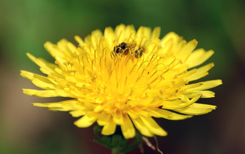 Margherita gialla...insetto volante annesso. :-)