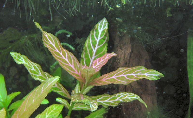 Le piante per acquario a crescita rapida facili per tutti for Piante da acquario