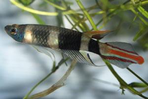 Pseudoepiplatys annulatus (Panchax razzo) - Killi con il corpo a strisce bianche e nere!